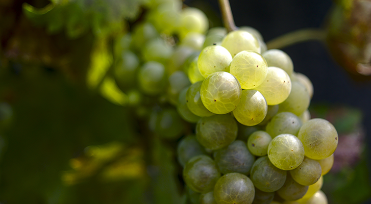 Le Chasselas | Obrist.ch